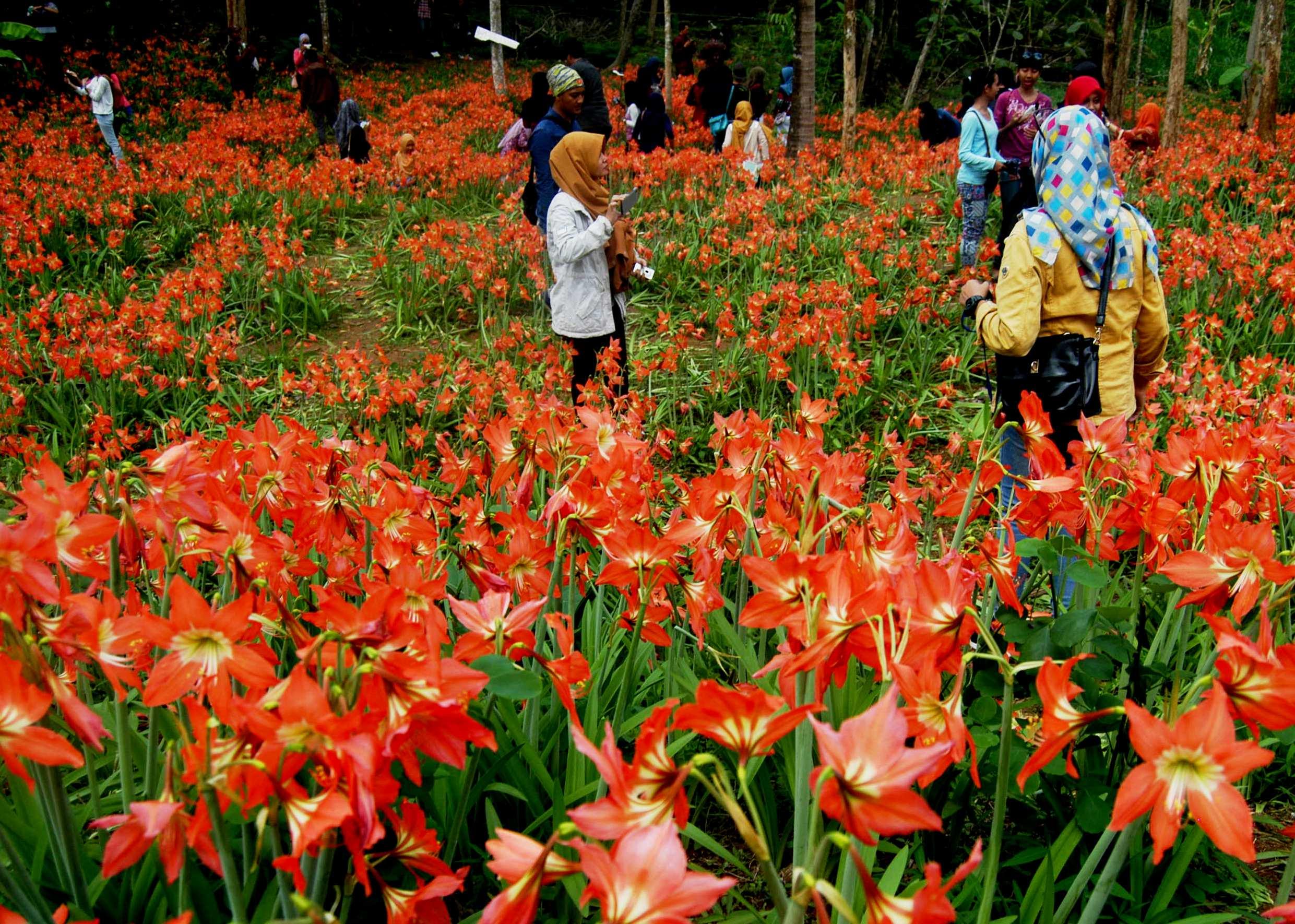 Taman Bunga Amarilis, Taman Bunga Indah di Gunungkidul