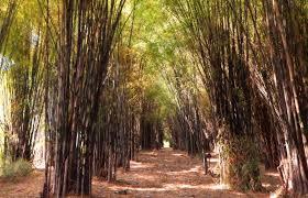 Hutan Bambu Keputih, Jepangnya Surabaya